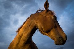 Brown Horse Face Profile Royalty Free Stock Photography