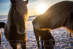 Cute icelandic brown horse in the sunrise sun. 2 Brown horse faces close-up, a horse looking in the camera, blue sky background Royalty Free Stock Images
