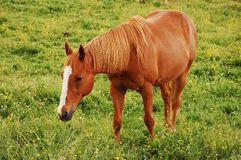 Brown horse on farm. Brown horse grazing on farm Royalty Free Stock Image