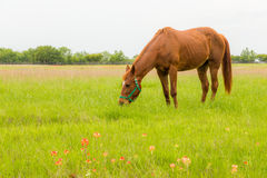 Brown horse in farm land. Stock Photo