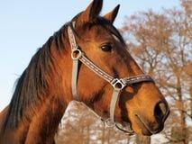 Brown horse on a farm. South Bohemia Stock Image
