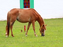 Brown horse feeding Royalty Free Stock Photo