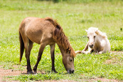 Brown Horse feeding Royalty Free Stock Photos