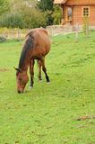 Brown horse feeding on grass Stock Photography