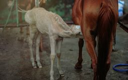 Brown Horse Feeding White Horse Stock Images
