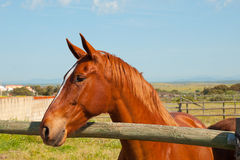 Brown horse in a fenced field Stock Photo