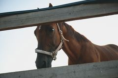 Brown horse in a fenced pen on the farm, over the fence, looking into the camera. Young curious Mare on a Sunny day stock images