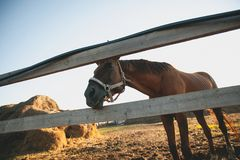 Brown horse in a fenced pen on the farm, over the fence, looking into the camera. Young curious Mare on a Sunny day. royalty free stock photos