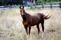 Brown horse in field. Brown horse standing in a fenced field Royalty Free Stock Photos