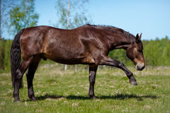 Brown horse on a field Stock Photography