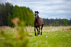 Brown horse on a field Stock Image