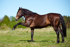 Brown horse on a field Royalty Free Stock Image