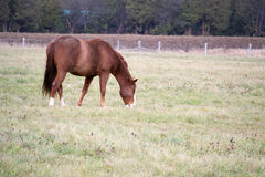 Brown Horse In Field. Brown horse eating grass in field Royalty Free Stock Photo