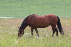 A brown horse on the field enjoying the summer royalty free stock image