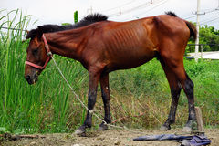 Brown horse. On the field grass Royalty Free Stock Image