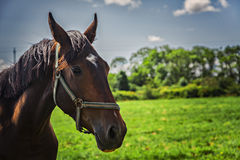 Brown horse on field Stock Photos