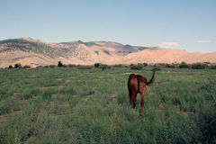 Brown horse in field Royalty Free Stock Images