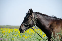 Brown horse on the field. With sunflowers Stock Photo