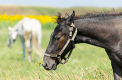 Brown horse on the field. With sunflowers Stock Photos