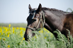 Brown horse on the field. With sunflowers Stock Images