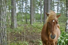 Brown horse on a finnish forest. Finland nature background. Royalty Free Stock Image