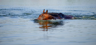 Brown horse floats in the pond Royalty Free Stock Photo