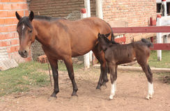 Brown horse with foal Royalty Free Stock Photos