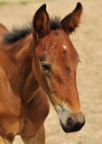 Brown horse foal. Portrait of cute brown horse foal outdoors Royalty Free Stock Photo