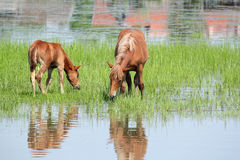 Brown horse and foal Stock Images