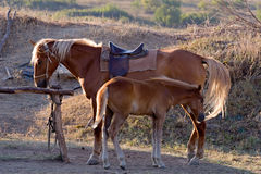 Brown horse with foal Stock Photos