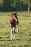 Brown horse foal in field. Portrait of cute brown horse foal in green countryside field Stock Image