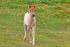 Brown Horse Foal in a Green Field of Grass. Royalty Free Stock Image