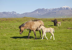 Brown horse with a foal on a green field Royalty Free Stock Images