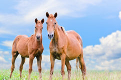 Brown horse and foal looking stock photo