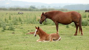 Brown horse and foal Stock Photos
