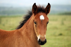 Brown horse foal portrait Stock Images