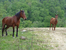 Brown horse and foal on the road near green forest. Adult and young horses on the road near green forest Royalty Free Stock Photo