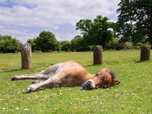 Brown Horse Foal Sleeping Royalty Free Stock Image