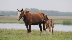 Brown Horse And Foal Young Horse Grazing On Green Meadow Near River In Summer Day.