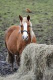 Brown Horse with Food Royalty Free Stock Image