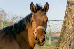 A brown horse Royalty Free Stock Images