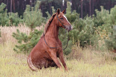 Brown horse. On the forest background royalty free stock image
