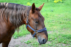 Brown horse in the forest Royalty Free Stock Photos
