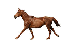 Brown horse galloping fast isolated on white Stock Image