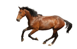 Brown horse galloping fast isolated on white Royalty Free Stock Images