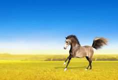 Brown horse galloping through field at dawn Stock Images