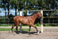 Brown horse galloping in the paddock Royalty Free Stock Photo