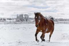 Brown Horse galloping in Snow Stock Photos