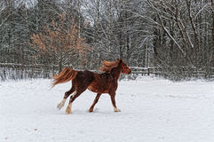 Brown horse galloping on snow. Royalty Free Stock Photography