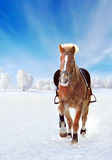 Brown horse galloping through snowy winter field Stock Photos